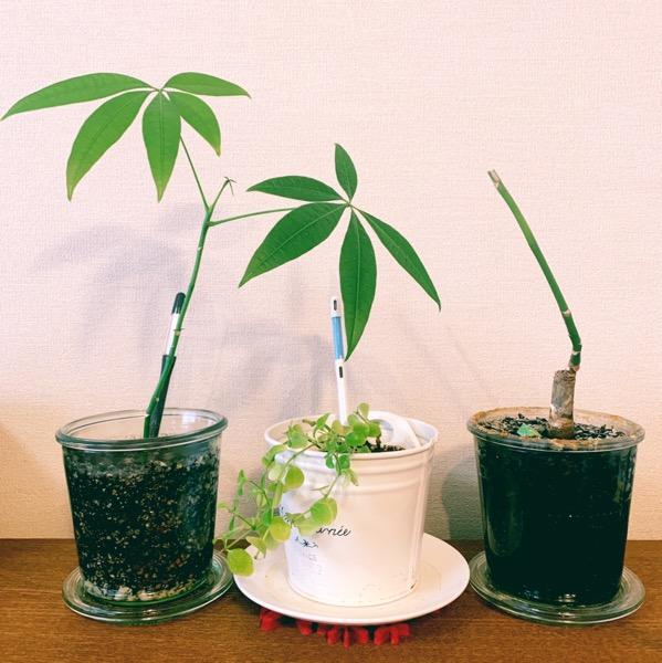 【パキラ】徒長→剪定→植え替え→新芽♡